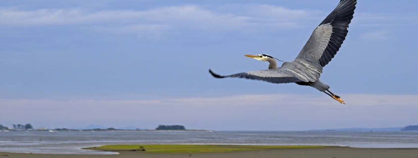Great Blue Heron over the estuary - Comox, BC